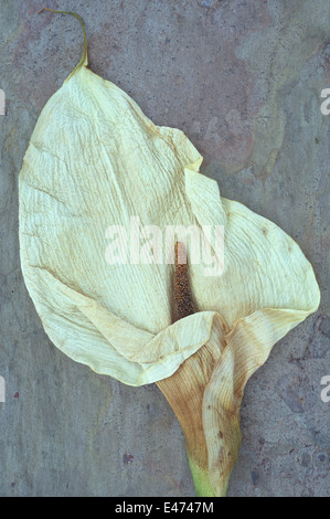 Dried flowerhead of Arum or Calla lily or Zantedeschia aethiopica Crowborough lying on marbled slate - Stock Photo