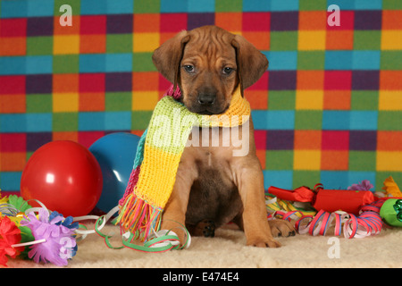 Rhodesian Ridgeback Party - Stock Photo