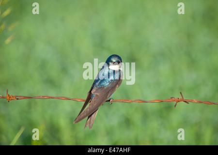 A male Tree Swallow (Tachycineta bicolor) perched on barbed wire.  Beaverhill Lake, Alberta, Canada. - Stock Photo