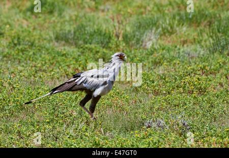 Secretarybird, Sagittarius serpentarius, Kgalagadi Transfrontier Park, Kalahari, South Africa, Botswana, Africa - Stock Photo