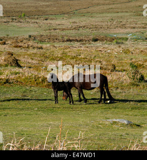 Dartmoor ponies, mares & foals on Haytor Down, square picture of a glorious little baby foal & his grazing mum - Stock Photo