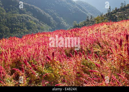 A field of amaranth on a Himalayan mountain, Uttarakhand, India. - Stock Photo