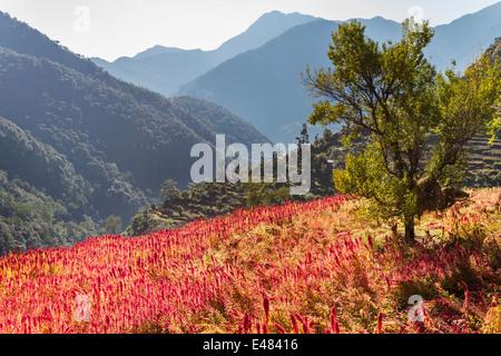 A field of amaranth on a Himalayan mountain, Uttarakhand, India. - Stock Photo