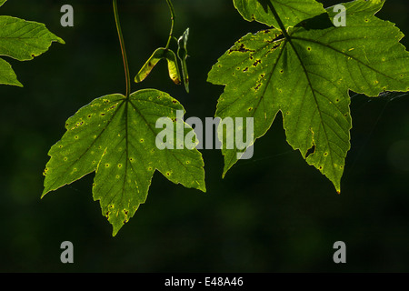 Leaves of Sycamore / Acer pseudoplatanus, the summer sun shining through the substance of the leaves. Sycamore is - Stock Photo