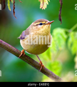 Willow Warbler in close - Stock Photo
