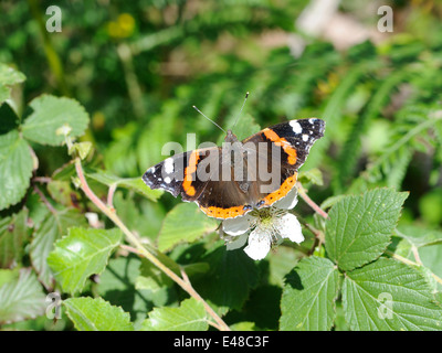 A Red Admiral (Vanessa atalanta) butterfly on a blackberry or bramble (Rubus fructosus).flower. Wings open. - Stock Photo