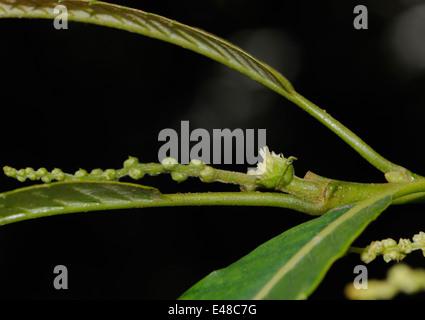 Female flower of the Sweet Chestnut (Castanea sativa). - Stock Photo