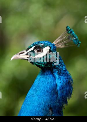 A close-up portrait of a male, blue peacock (Pavo cristatus). - Stock Photo