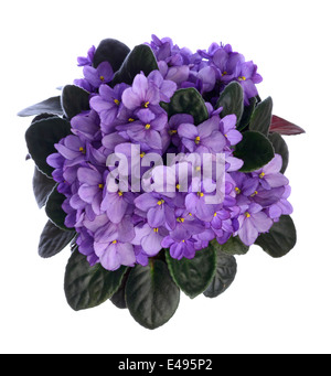 Purple african violet flowers - Stock Photo