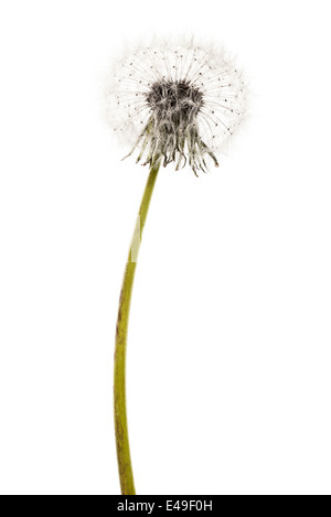 macro shot of a fragile and fluffy dandelion intact - Stock Photo