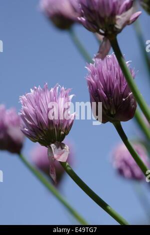 Chive - Allium schoenoprasum - Stock Photo