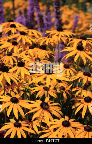 Sullivant's coneflower - Stock Photo