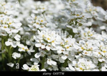 Evergreen Candytuft - Iberis sempervirens - Stock Photo