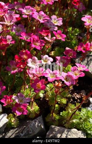 Irish saxifrage - Saxifraga rosacea - Stock Photo