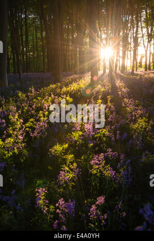Bluebells in Bluebell woods in spring, Badbury Clump at Badbury Hill, Oxford, Oxfordshire, England, United Kingdom, - Stock Photo