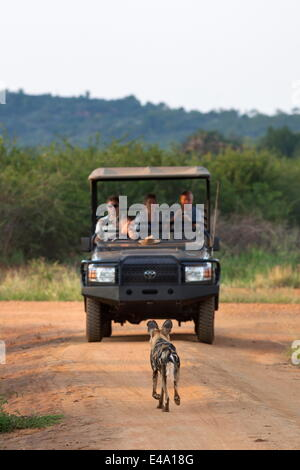 African wild dog (Lycaon pictus) and game viewing vehicle, Madikwe Game Reserve, South Africa, Africa - Stock Photo
