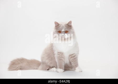 Portrait of British Longhair Cat sitting in front of white background - Stock Photo
