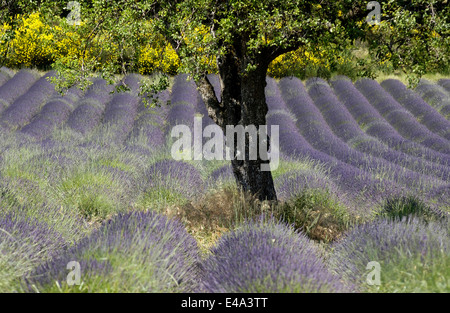 Beautiful blooming lavender field in the Valensole region of Provence, France in the summer season - Stock Photo