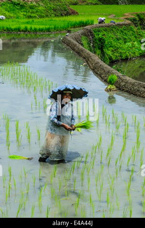 Woman planting in the rice terraces of Banaue, UNESCO World Heritage Site, Northern Luzon, Philippines, Southeast - Stock Photo