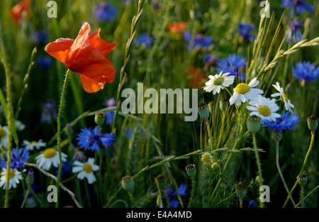 Pretty wildflowers in a meadow field in summer close up - Stock Photo