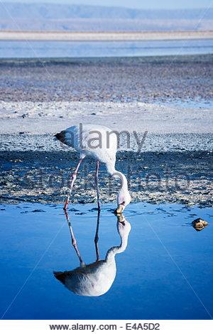 Puna (James) flamingo (Parina chica) wading in shallow water at Laguna de Chaxa (Chaxa Lake), San Pedro, Chile, - Stock Photo