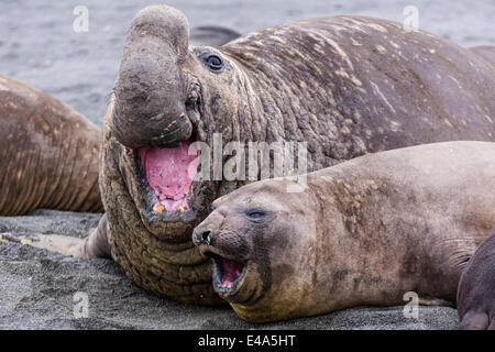 Southern elephant seal bull holding female down for mating, Right Whale Bay, South Georgia, UK Overseas Protectorate - Stock Photo