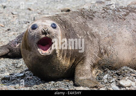 Southern elephant seal (Mirounga leonina) adult female calling, Prion Island, South Georgia, UK Overseas Protectorate - Stock Photo
