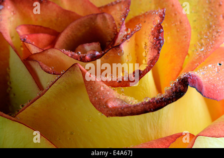 Water drops on petals of orange rose, Rosa, close-up - Stock Photo