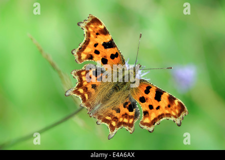 Germany, Comma butterfly, Polygonia c-album, sitting on flower - Stock Photo