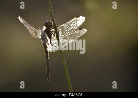 Black darter, Sympetrum danae, at blade of grass - Stock Photo