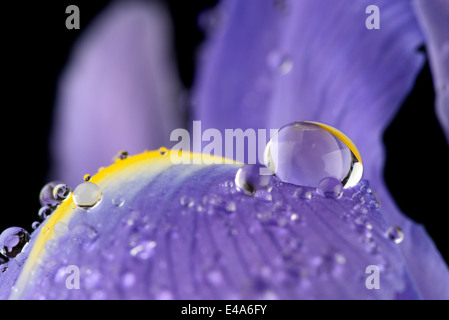 Water drops with reflection on petal of iris, Iridaceae, close-up - Stock Photo