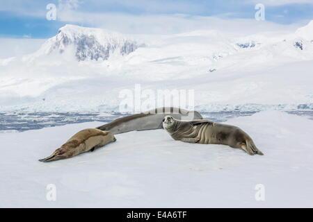 Adult crabeater seals (Lobodon carcinophaga) resting on ice floe in Neko Harbor, Antarctica, Polar Regions - Stock Photo