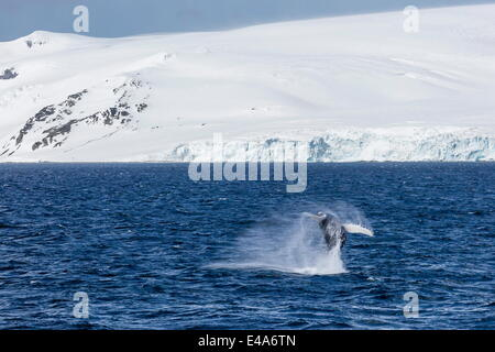 Humpback whale (Megaptera novaeangliae) breaching, Gerlache Strait, Antarctica, Polar Regions - Stock Photo