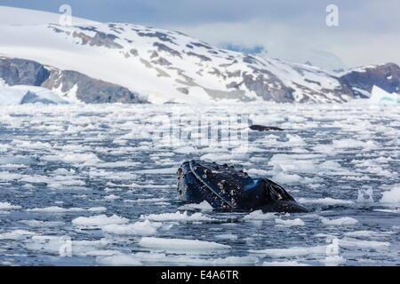 Humpback whale (Megaptera novaeangliae), adult spy-hopping in Cierva Cove, Antarctica, Polar Regions - Stock Photo