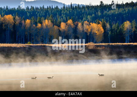 Wildfowl on Snake River surrounded by a cold dawn mist in autumn (fall), Grand Teton National Park, Wyoming, USA - Stock Photo