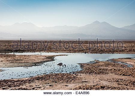 Flamingo standing in water at Laguna de Chaxa (Chaxa Lake) at dawn, San Pedro, Chile, South America - Stock Photo