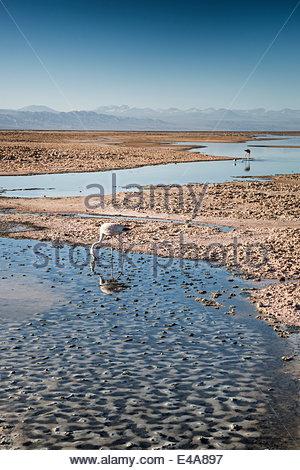 Flamingoes in shallow water at Laguna de Chaxa (Chaxa Lake) at dawn, San Pedro, Chile, South America - Stock Photo
