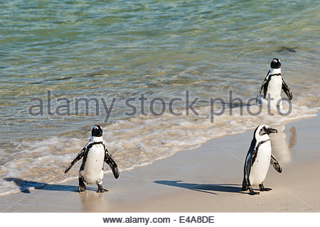 Three African penguins (Jackass penguins) coming ashore from the ocean, Boulders Beach National Park, Simonstown, - Stock Photo