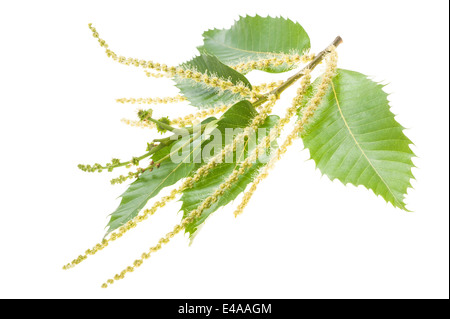 Chestuts branch with catkins isolated on white - Stock Photo