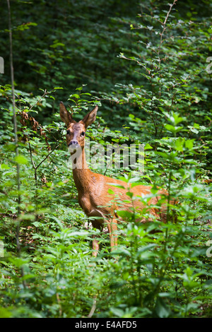 Female red deer (hind) looking at camera from edge of forest. - Stock Photo