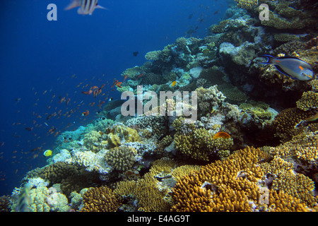 underwater shooting coral reef with tropical fish - Stock Photo