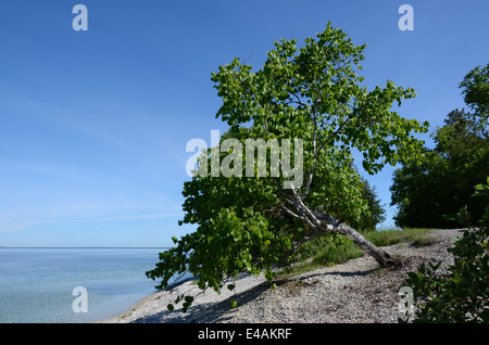 Aspen tree in Mackinac Island - Stock Photo