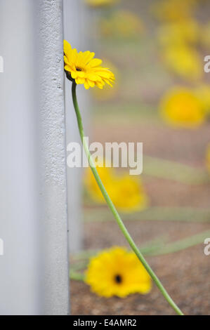 Hyde Park, London, UK. 7th July 2014. Sunflowers laid at the 7/7 memorial in Hyde Park, which had been defaced by - Stock Photo