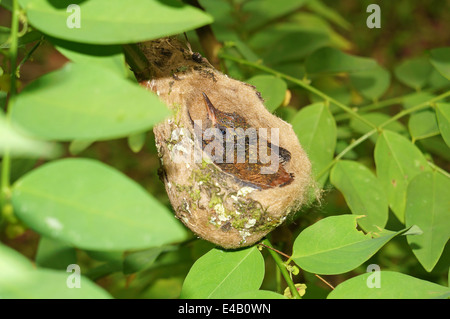Baby Rufous-tailed hummingbird in the nest, 2 weeks old, Costa Rica, Central America - Stock Photo