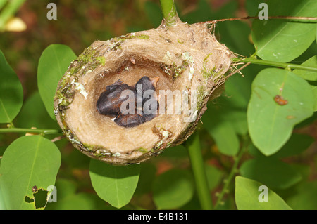 2 days old baby Rufous-tailed hummingbird in the nest, Costa Rica, Central America - Stock Photo