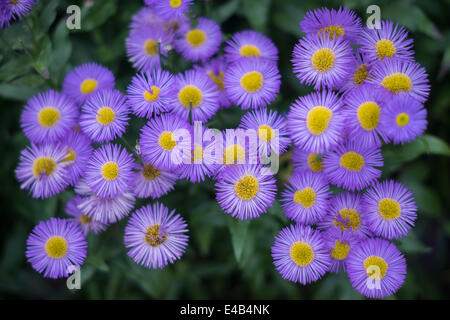 Bunch of purple aster flowers - Stock Photo