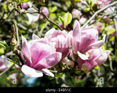 Detail of blooming magnolia in spring garden. - Stock Photo