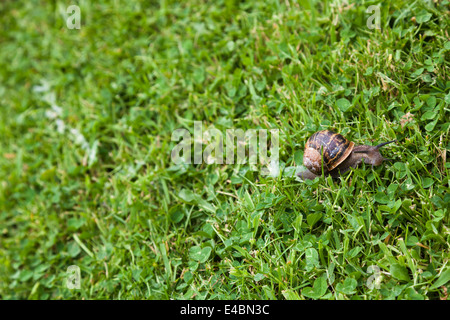 Garden snail and it's slime mucus trail on grass and clover lawn. - Stock Photo