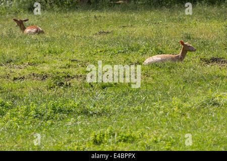 Fallow deer when ruminating on green meadow grassland in forrest in summer