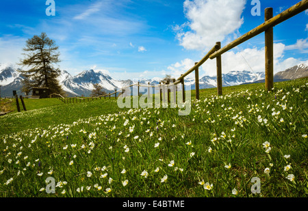 Alpine flowers in the Susa Valley, Italy. - Stock Photo